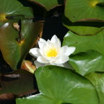 white radiating Lotus